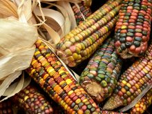 Thanksgiving Indian Corn